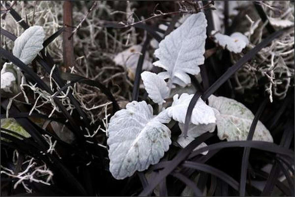 Black mondo grass seems to brighten the pewter leaves of dusty miller.