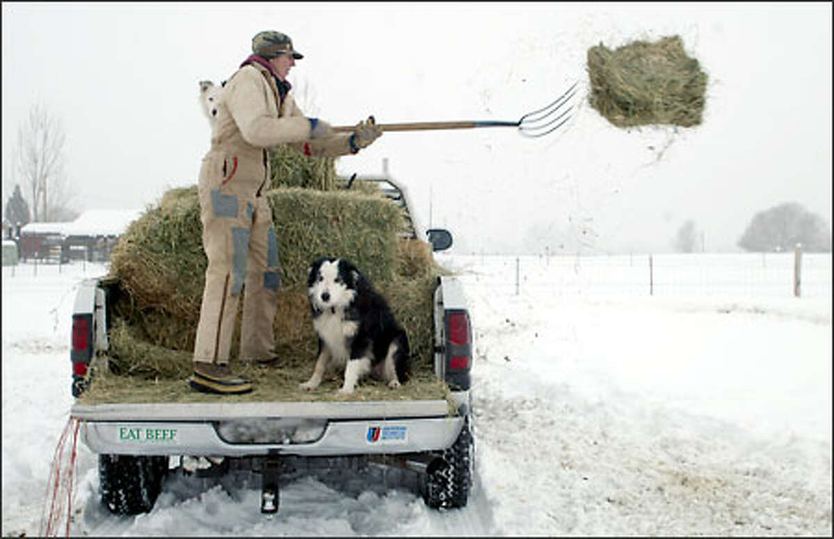 Linda Card tosses hay to her cattle on her small operation near Prosser in Benton County. Her border collies Whitey and Jock ride along.