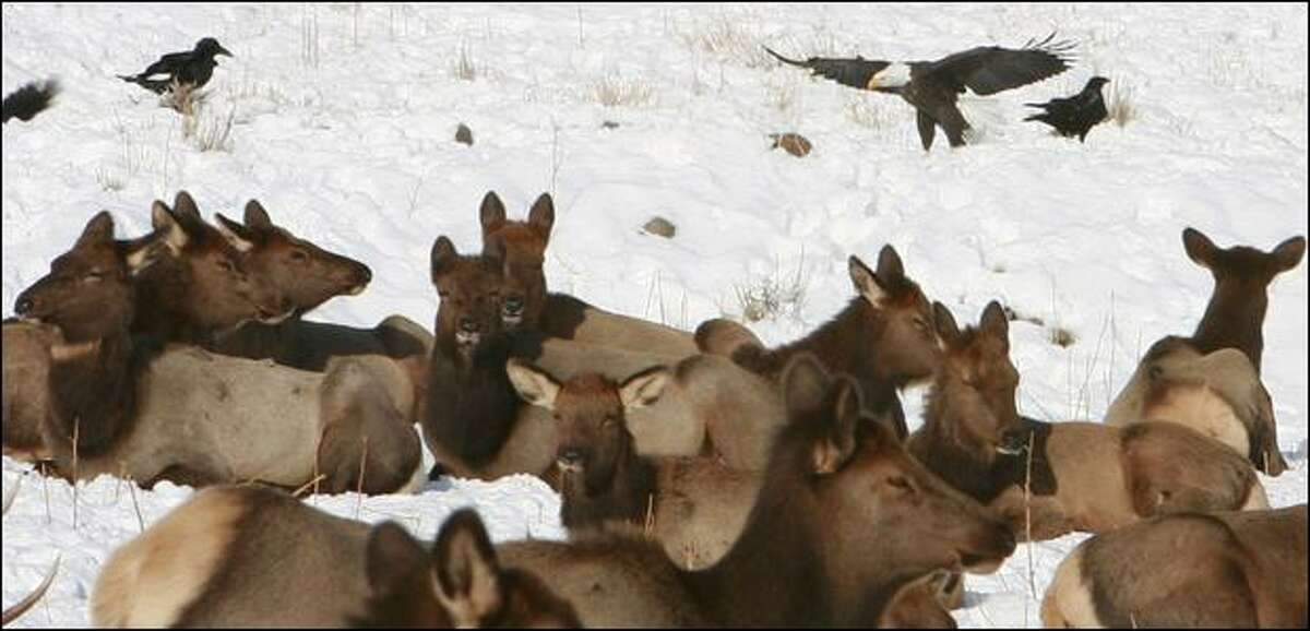 Rocky Mountain elk, a bald eagle and a pair of ravens gather at the Oak Creek Wildlife Area west of Yakima. The state Department of Fish and Wildlife feeds the elk -- as many as 3,000 -- to keep them from ravaging orchards.