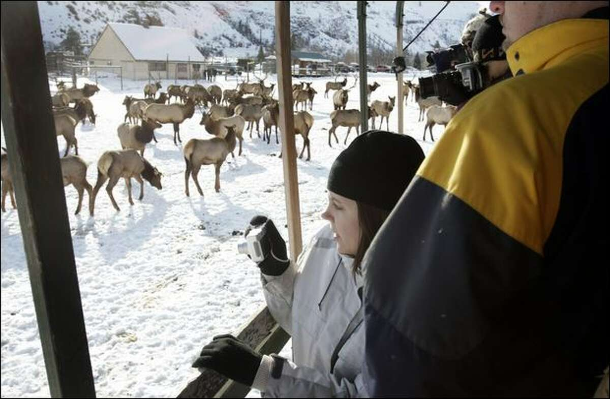 Elaine Jones of Yakima gets up-close photos of elk from a viewing truck at Oak Creek. Volunteers lead hourly tours Fridays through Sundays, driving about 20 visitors at a time aboard a flatbed truck in among the animals.