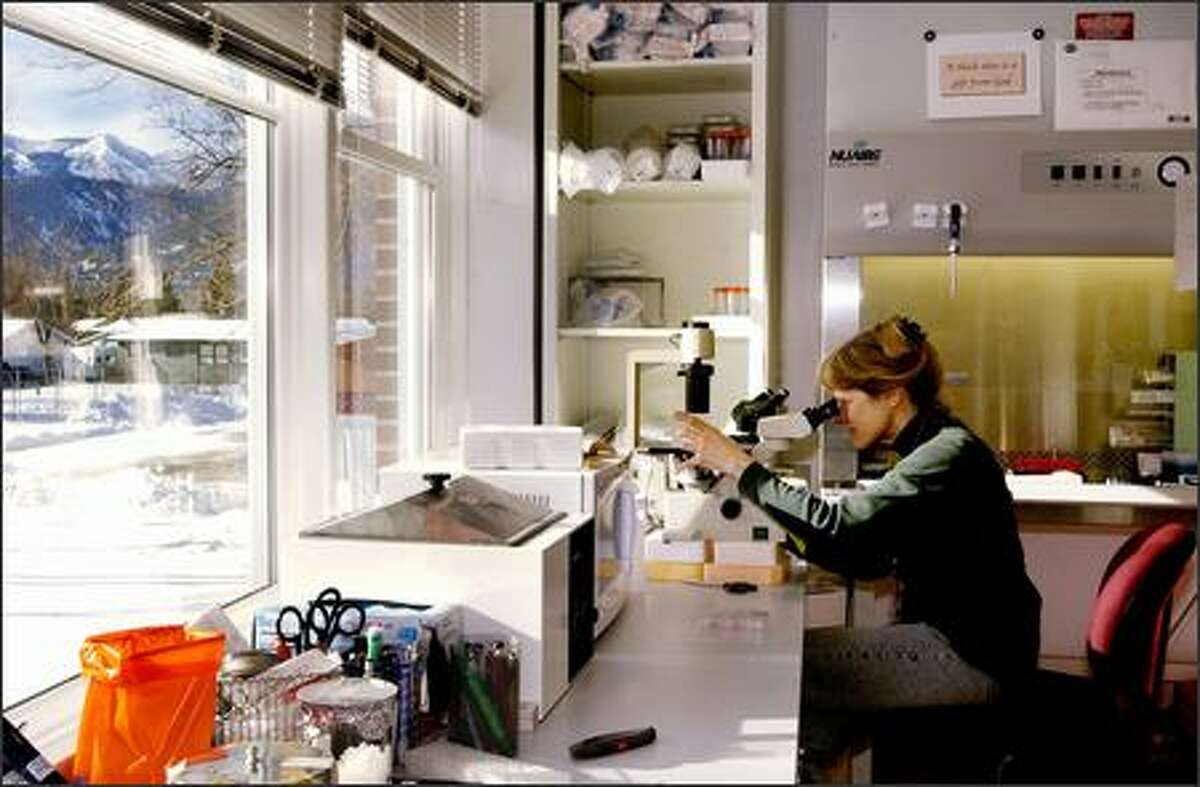 Rocky Mountain Laboratories chemist Kathy Wehrly examines cells through a microscope at the National Institute of Allergy and Infectious Diseases facility in Hamilton, Mont. Wehrly is part of a team that studies the prion protein and its possible links to diseases such as mad cow disease and scrapie.
