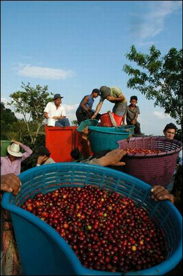 """Just-picked coffee """"cherries,"""" containing two beans each, are loaded onto a truck in Herbazu, Costa Rica. (D. Major Cohen)"""