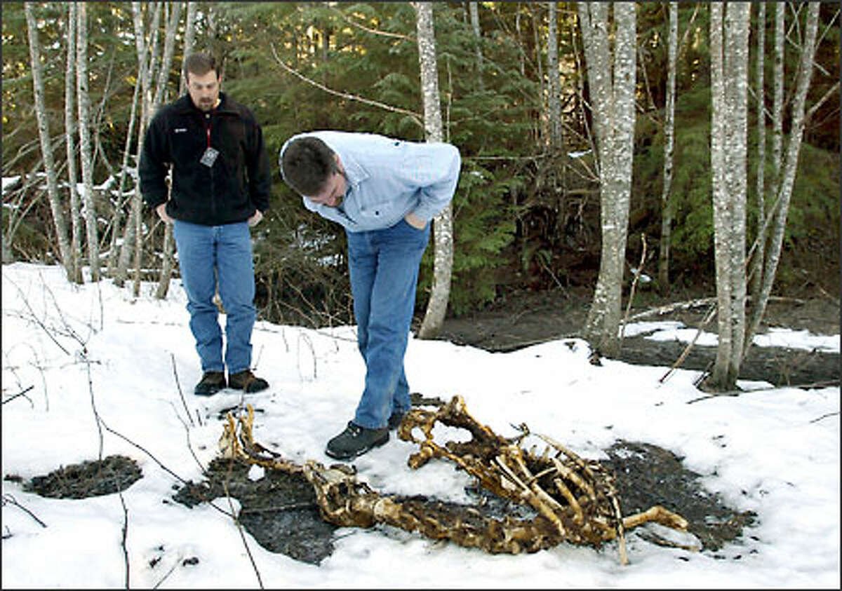 Wildlife biologist Chris Madsen, left, and volunteer Lenny Thompson inspect the remains of an elk killed by a cougar.