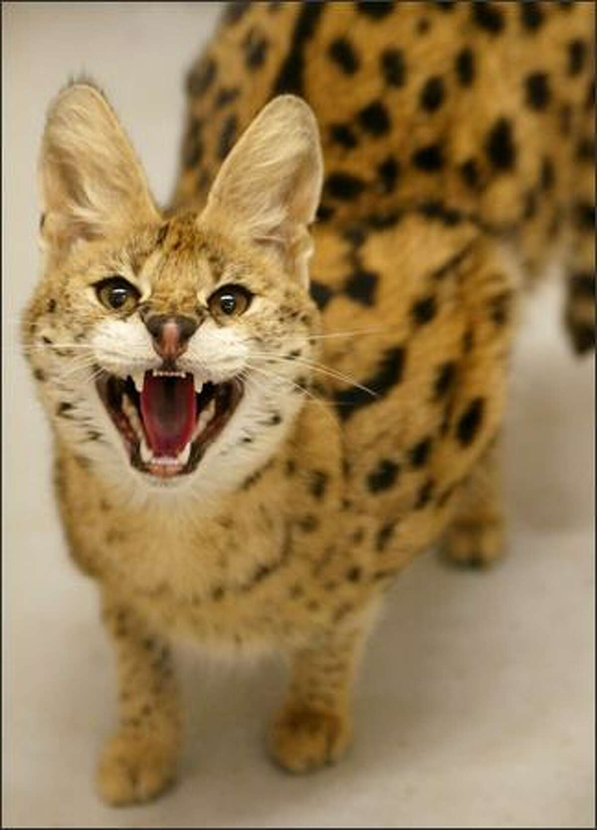 This wild serval cat, a different animal from the one in the story, was photographed in 2003 after being captured within the Seattle city limits.