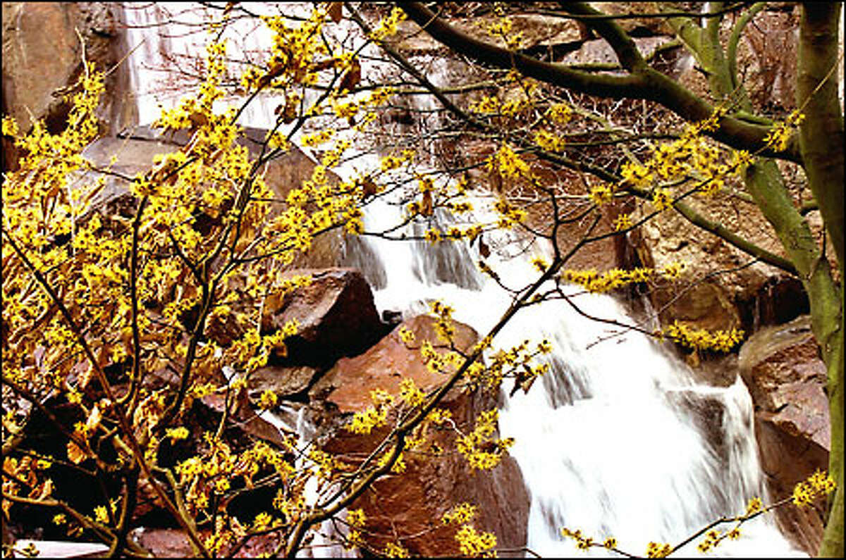 To ease the rainy-day blues, visitors can take a break at Waterfall Garden off Pioneer Square and enjoy the yellow flowers in full bloom on a witch hazel tree. The focus of the garden is a 22-foot-high waterfall cascading over granite boulders. The waterfall, which pumps 5,000 gallons of filtered and recirculated water per minute, is in a self-enclosed space. Best of all, it's free.