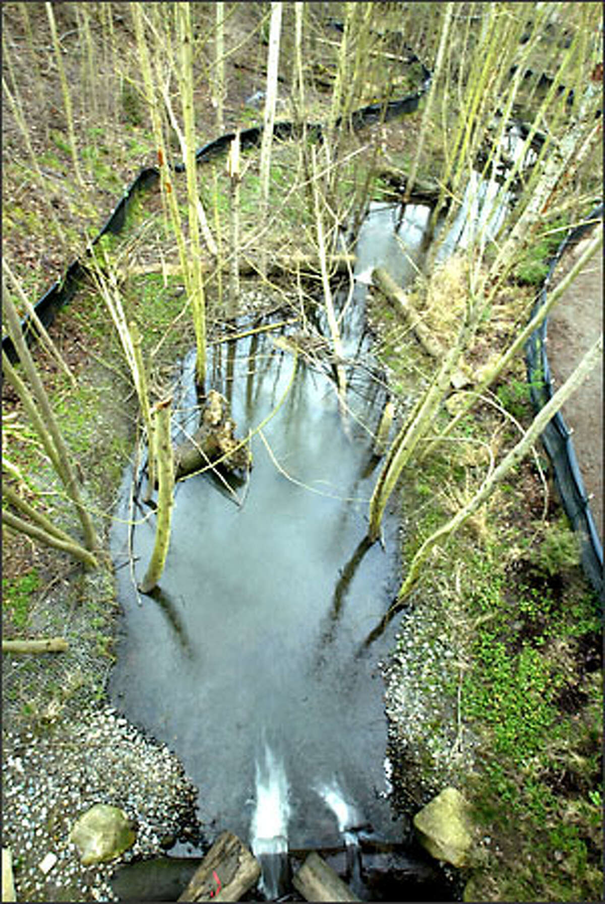 Longfellow Creek in West Seattle has been rehabilitated to support coho and chum salmon. We'd suggest starting at Dragonfly Garden at 28th and Dakota, and then walking south along the trail in early November for the best chance of spotting the salmon.