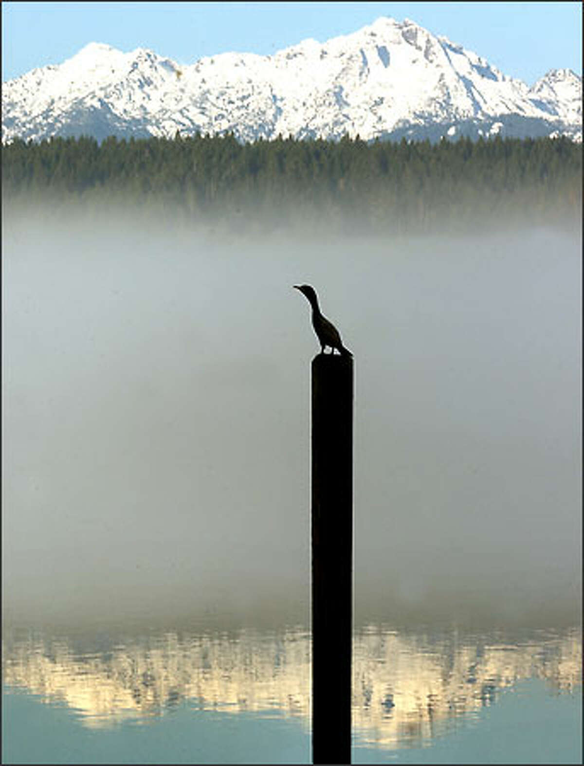 Seemingly oblivious to pollution threats in Hood Canal, a cormorant rests on a piling in the south canal area with the Olympics as backdrop.
