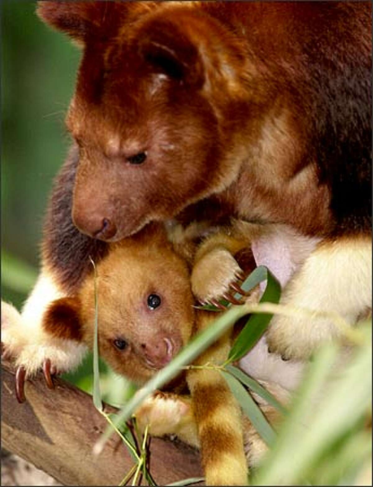 A baby Goodfellow's tree kangaroo peeks from its mother's pouch at the Cleveland Metroparks Zoo Tuesday in Cleveland. The rare marsupial, a native of New Guinea, was the size of a lima bean at birth in June 2002 and went undetected by zoo keepers for several months.