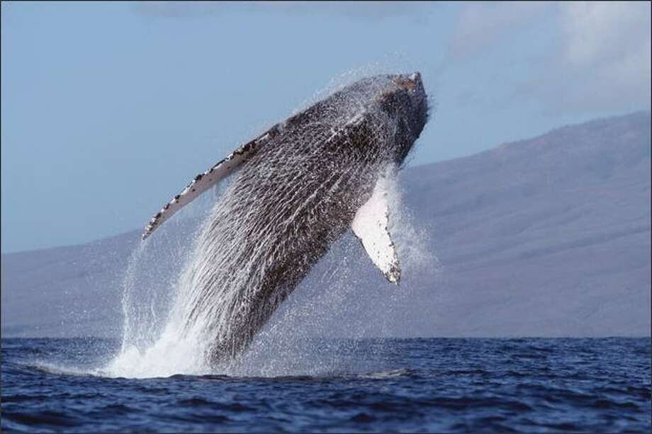 A humpback whale breaches off the Big Island's Kona Coast. Hawaii Ocean Sports