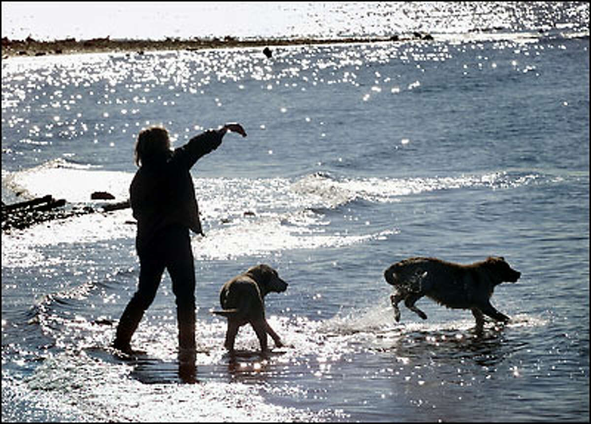 Nancy Carol of Edmonds throws a rock into Puget Sound yesterday while playing in the surf with her yellow labs Chelsea and Annie at the off-leash area of Marina Beach Park in Edmonds.