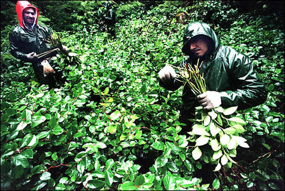 Hernan Cruz, left, and his uncle, Alejo Cruz, both of El Salvador, harvest salal legally on land northwest of Forks owned by Rayonier Inc.