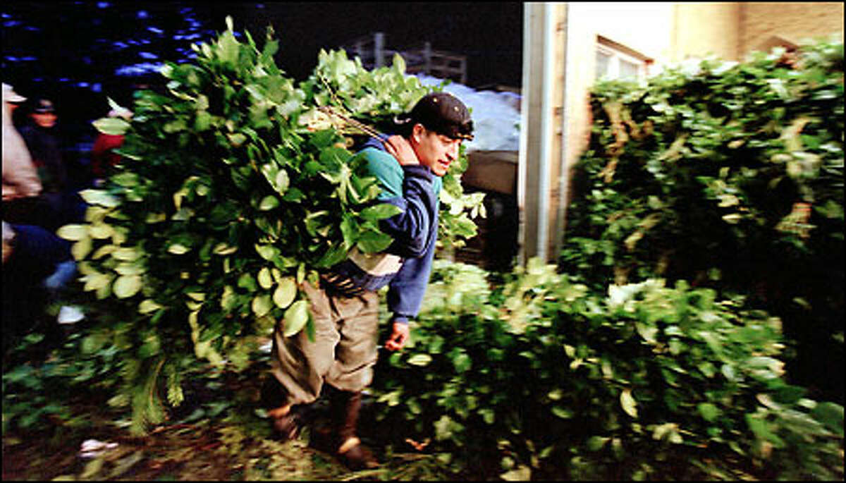 """A worker carries his bundle of salal into George Dhooghe's """"brush shed,"""" where it is sorted and packed in boxes and trucked to warehouses."""