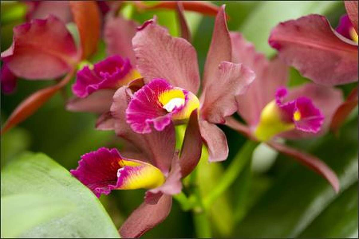 Orchids are the specialty of Orchidaceae Inc. of Walla Walla, including this beautiful Cattleya called 'Tutankamen' ($28). They're in booth 2524 in the Plant Market.