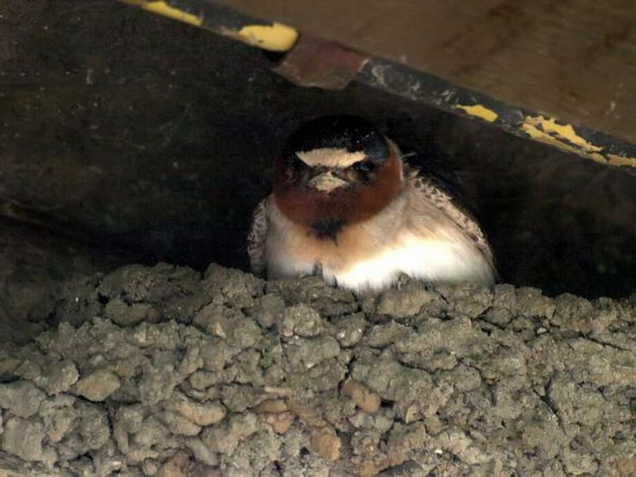 A cliff swallow (petrochelidon pyrrhonota) looks out from its nest. Photo by Ingrid Taylar.