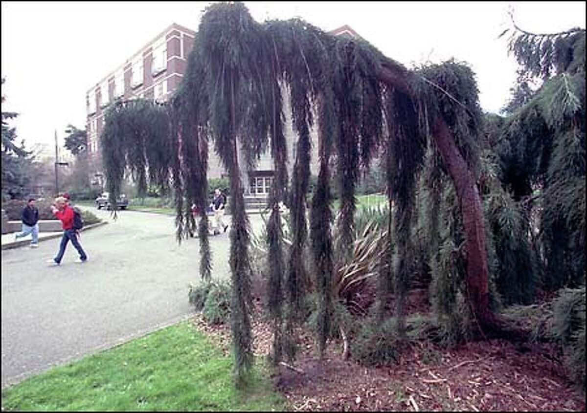A weeping giant sequoia (Sequoiadendron giganteum 'Pendulum') often starts out thin and straight or leaning and then develops into a big, old drooping tree like this one at Seattle University.