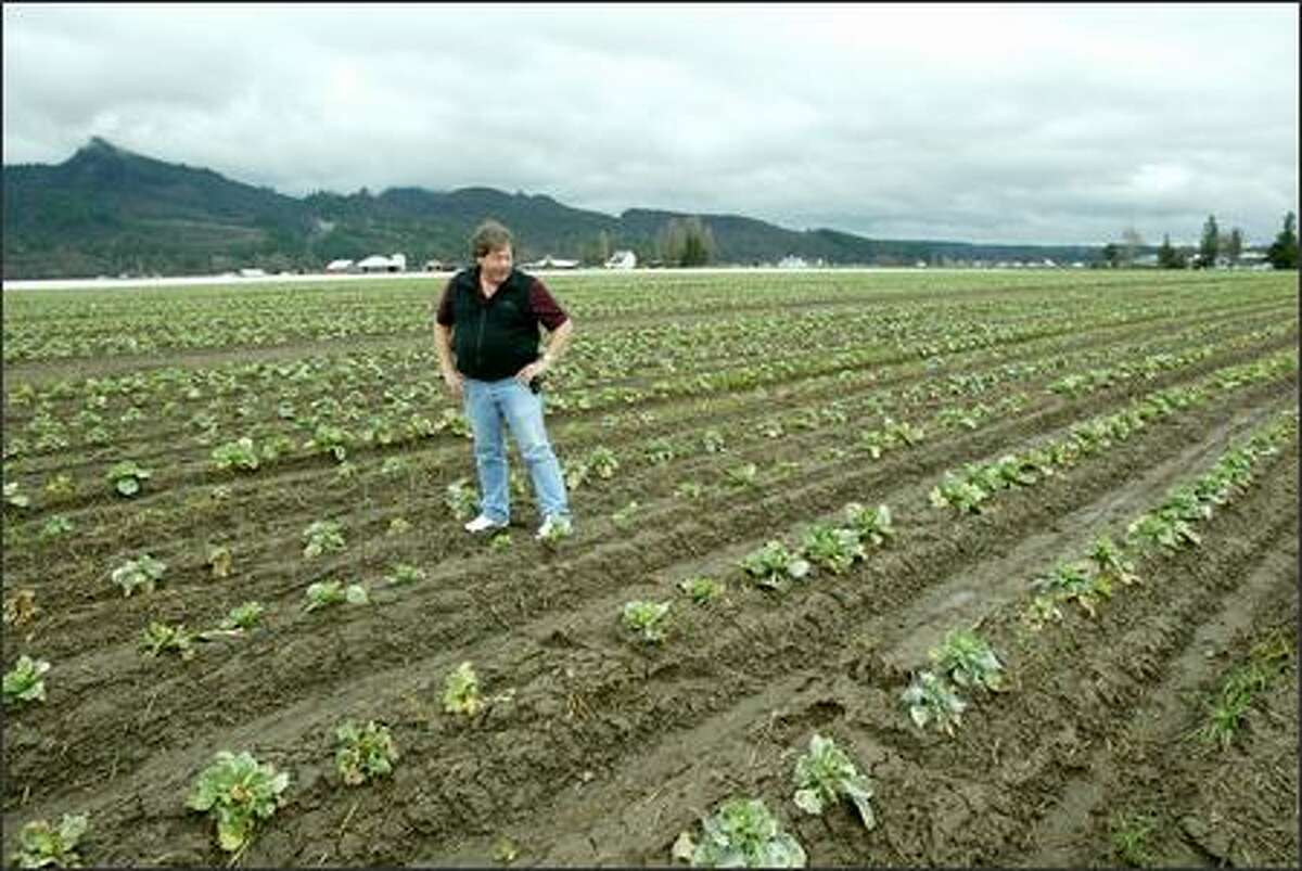 Keith Morrison looks over a field of hybrid cabbage plants he is growing for seed near Mount Vernon. Morrison can turn a 20-acre field into $100,000 worth of cabbage seed. But he's facing a nightmare: Canola is being planted within a mile of his seed plots.