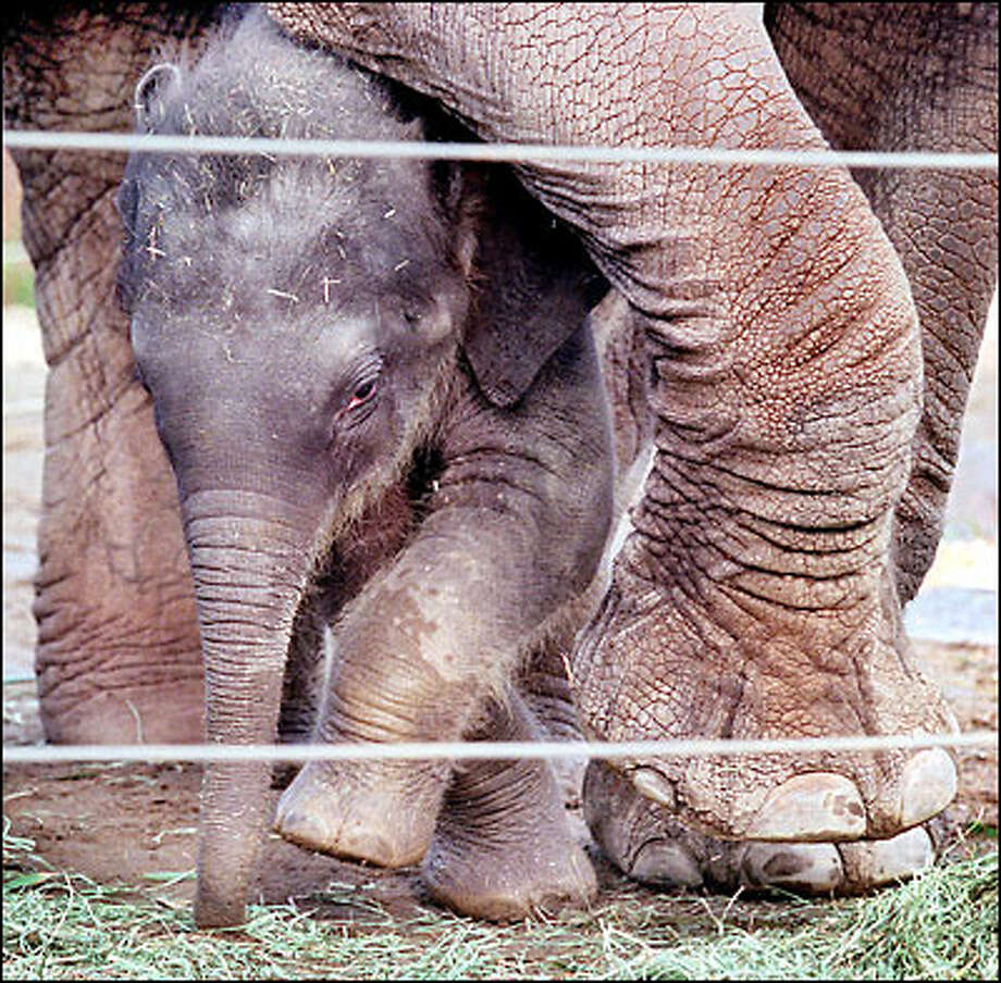 "The Woodland Park Zoo's new baby elephant squeezes between the legs of her mother, Chai. The zoo is holding a contest to name the 530-pound pachyderm, which was born Nov. 3. ""The name has to be of Thai origin,"" says Gigi Allianic, public-relations manager at the zoo. Photo: Renee C. Byer, Seattle Post-Intelligencer / Seattle Post-Intelligencer"