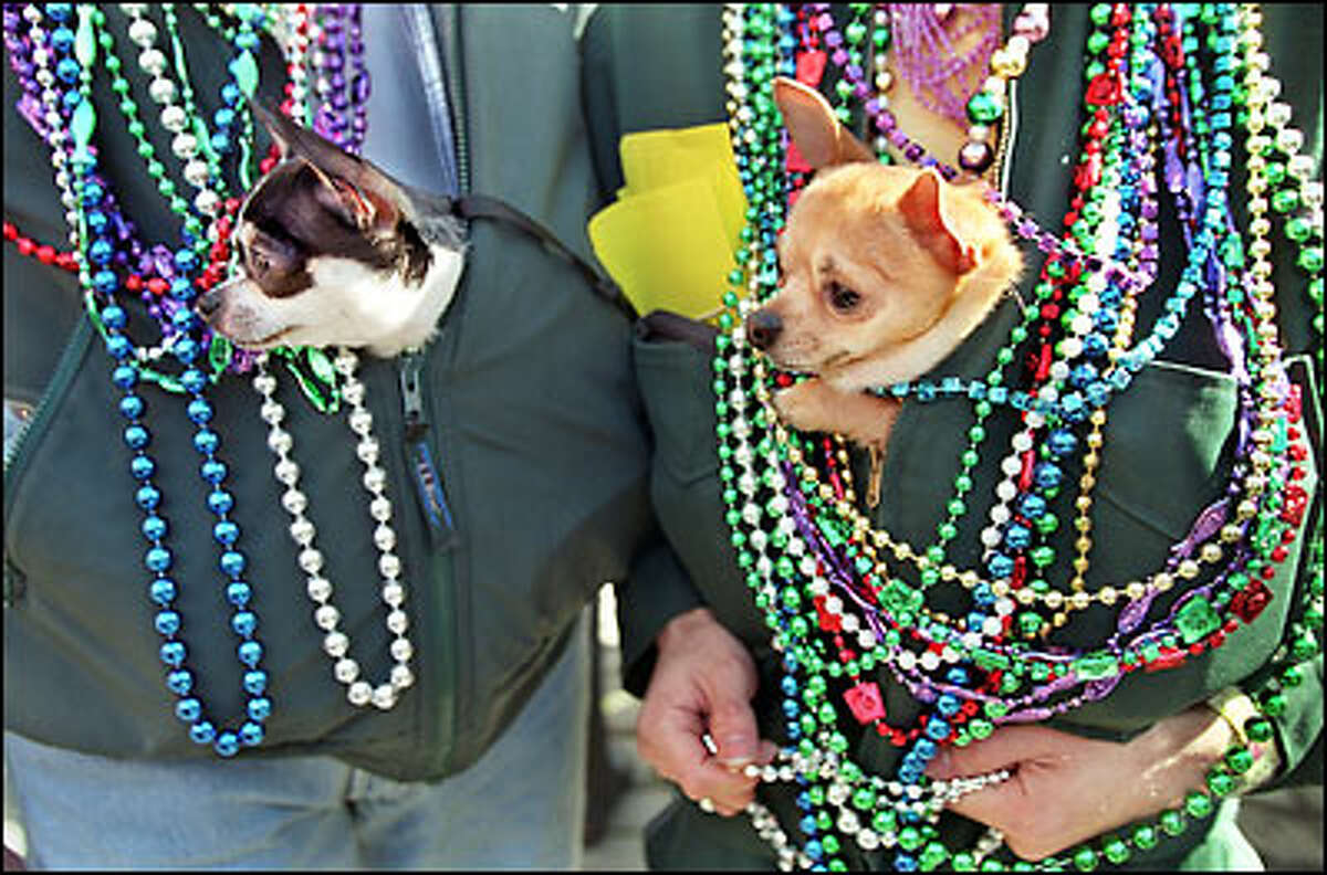 Peeking out from their handler's jackets during Mardi Gras festivities are Chihuahuas Mercedes, left, and Fitzhugh, both owned by Robert Sullivan of Seattle.