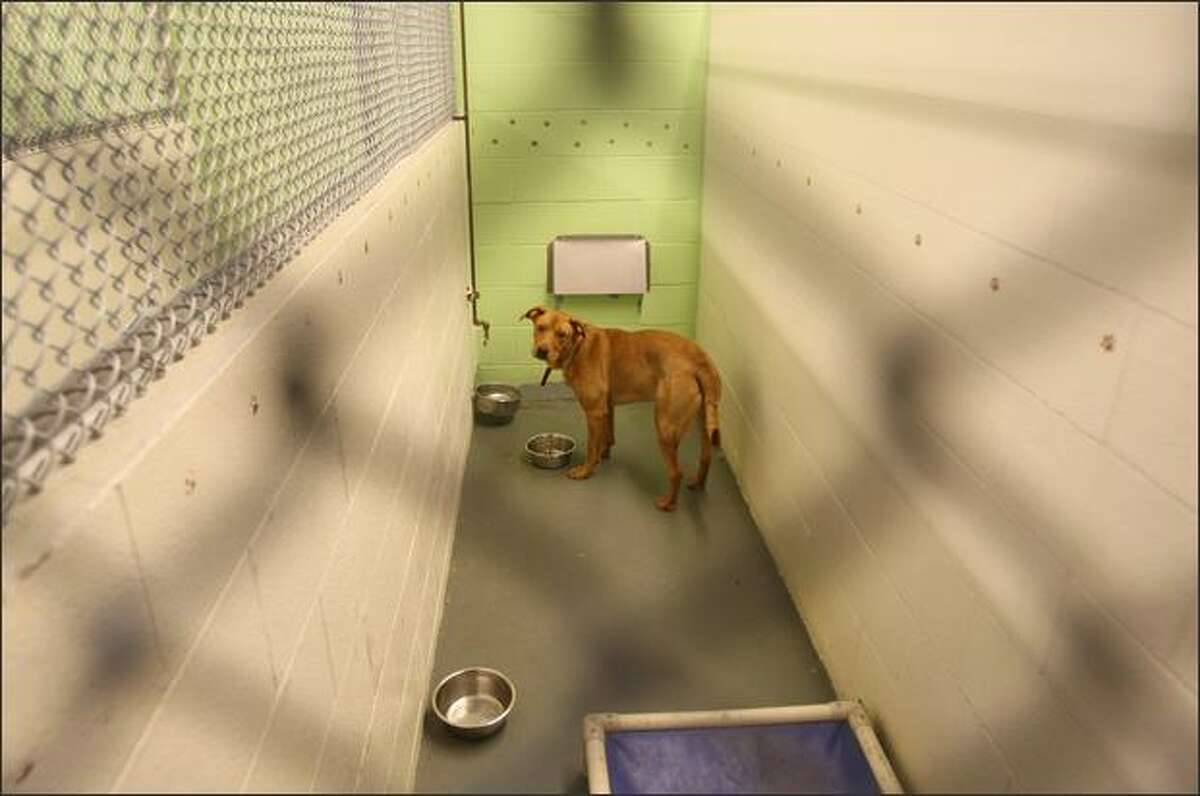 Rascal looks up from eating in his kennel at the Kent Animal Care and Control Shelter Kent on Monday.