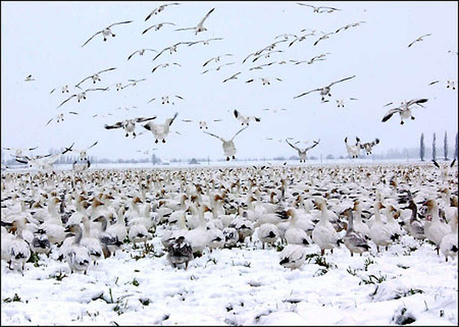 Flocks of snow geese blend in with the snow by Fir Island in the Skagit Valley. Between 3 and 4 inches of snow fell in the area on Tuesday night and yesterday morning, and the birds seemed to rather enjoy it. Photo: Jeff Larsen, Seattle Post-Intelligencer / Seattle Post-Intelligencer