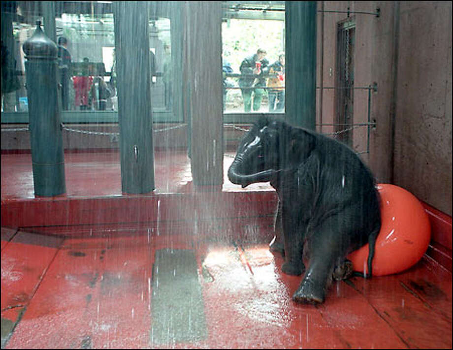 It's not a sit-down bath, but it'll have to do for Hansa, who got a shower Friday at the Woodland Park Zoo. Hansa, an Asian elephant, was born in November 2000 and now weighs 1,300 pounds. Photo: Phil H. Webber, Seattle Post-Intelligencer / Seattle Post-Intelligencer