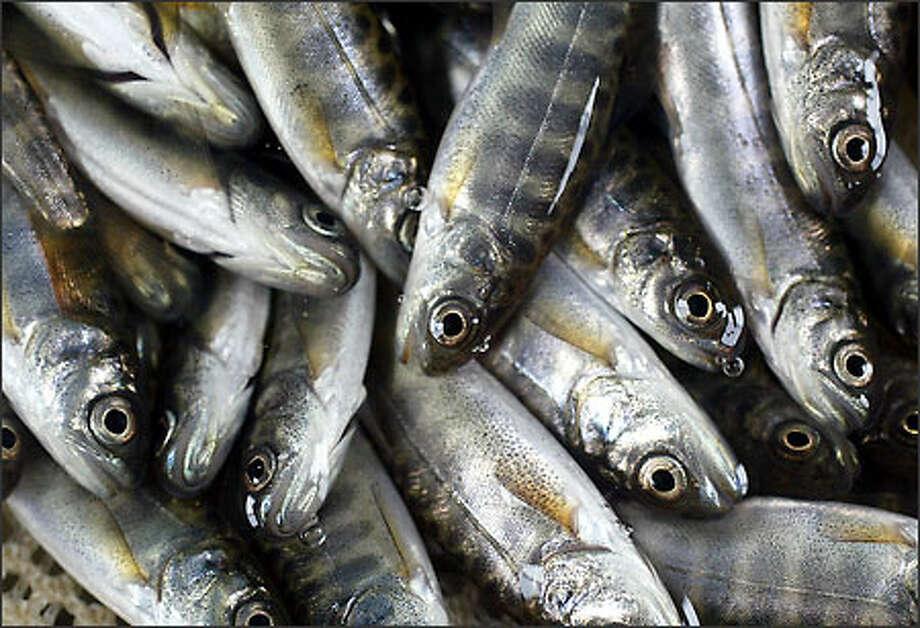 Juvenile chinook salmon. Photo: Dan DeLong, Seattle Post-Intelligencer / Seattle Post-Intelligencer