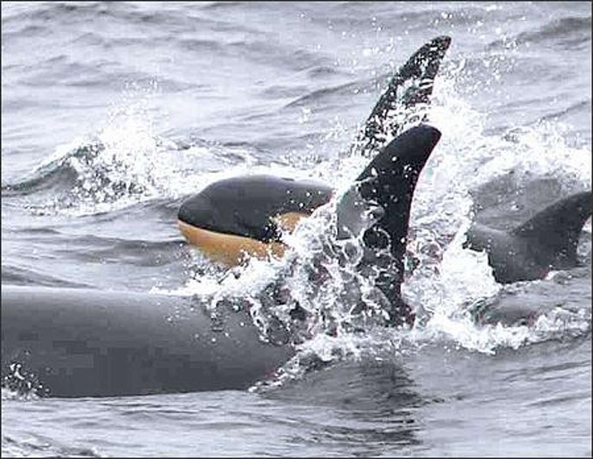A baby orca was spotted over the weekend in Monterey Bay, Calif., with Puget Sound's L-pod. The pod is expected to return by June. (NANCY BLACK/ MONTEREY BAY WHALE WATCH)