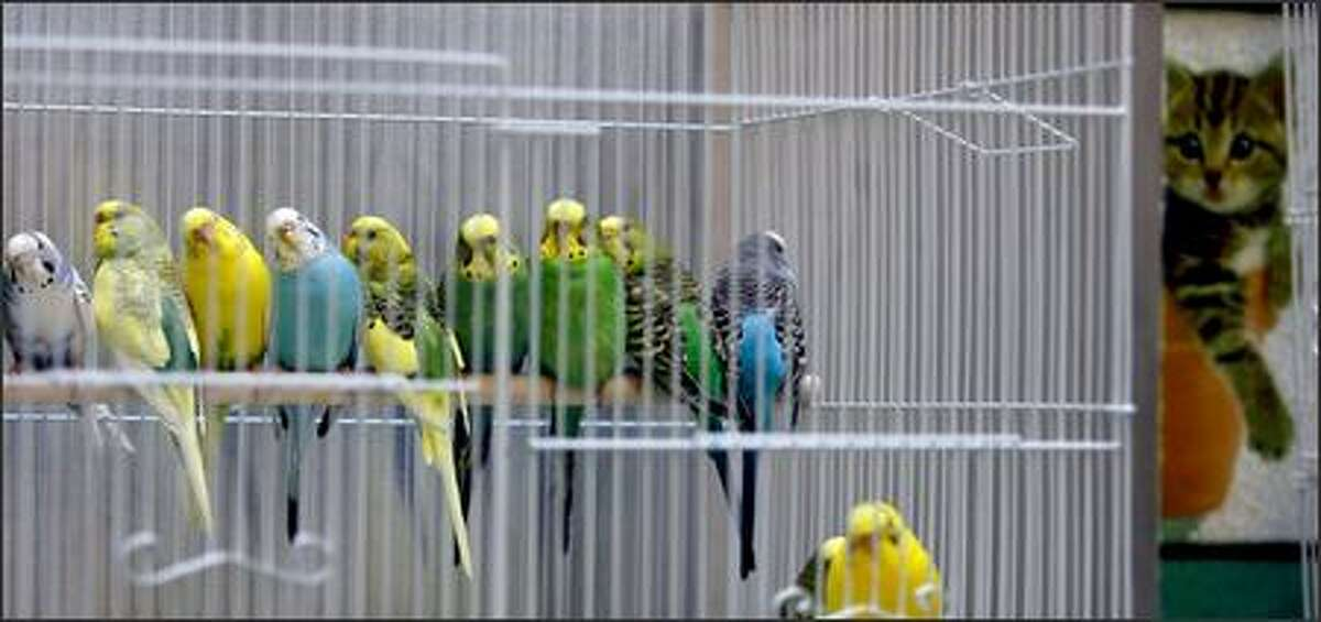 Some of the more than 100 parakeets rescued Tuesday by animal control officers doze in a cage in the