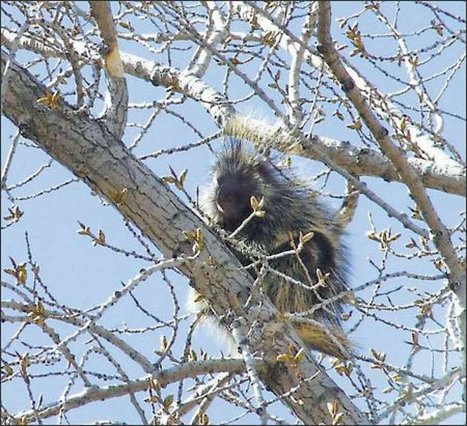 Porcupines, such as this one spotted at the park entrance, normally are nocturnal. Photo: Karen Sykes, Special To The Post-Intelligencer / Special to the Post-Intelligencer