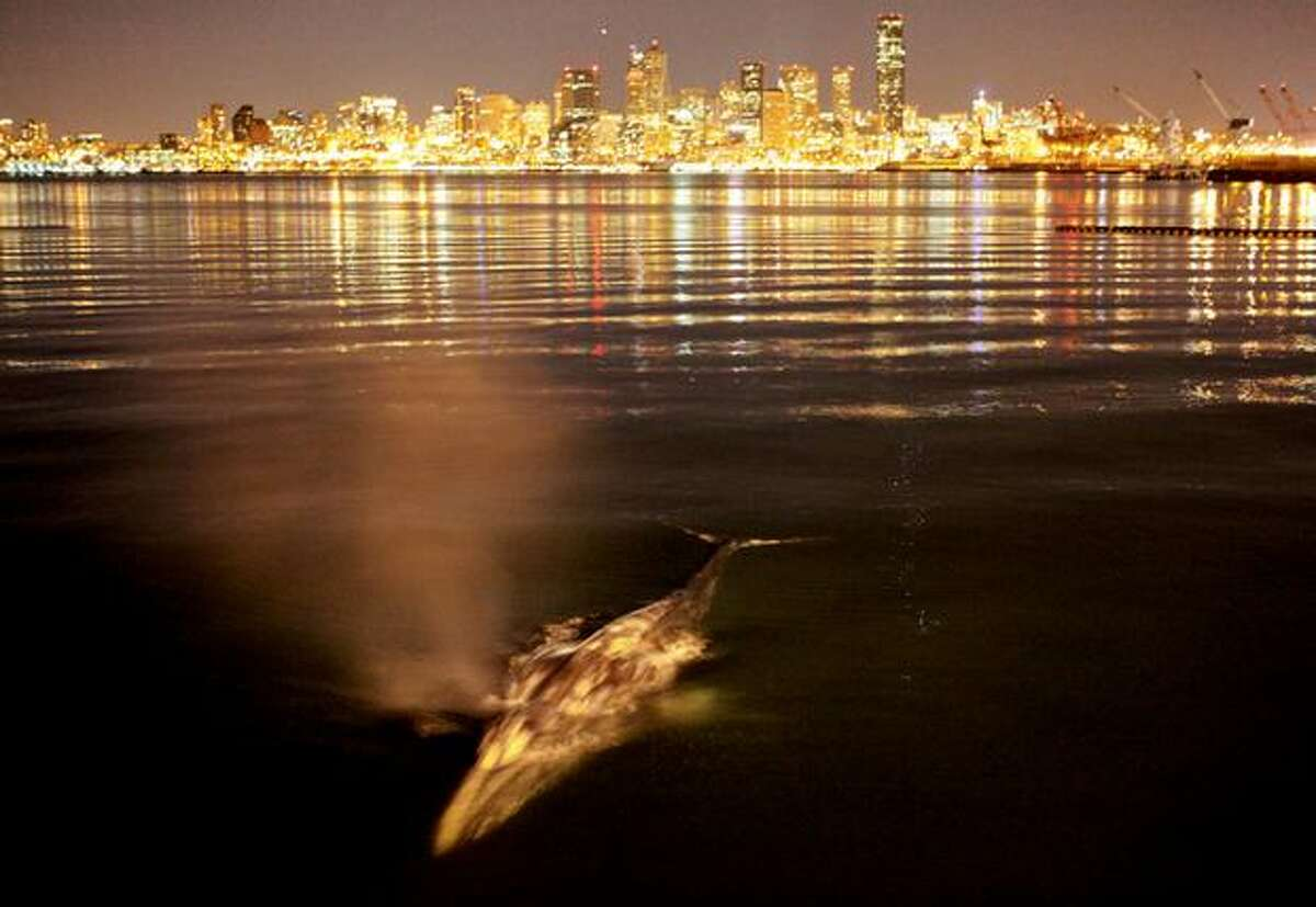 A gray whale surfaces near the mouth of the Duwamish River late Saturday in Seattle. The nearly 40 foot-long animal was watched by excited spectators as it hugged the shore around the West Seattle peninsula earlier in the day. Gray whales are not as common in Puget Sound as orca whales; gray whales are rarely seen in Elliott Bay near downtown Seattle. In this photo the whale surfaced near Jack Block Park and pier at the mouth of the Duwamish River. The large mammal was watched from the pier until about 1 a.m. Sunday. Marritime officials with the Port of Seattle were concerned the whale would attempt to travel up the Duwamish River, a major industrial area and Superfund site. No sightings have been reported after the early morning encounter.