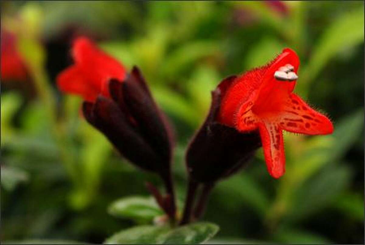 A Lipstick Plant needs light to produce its lovely flowers.