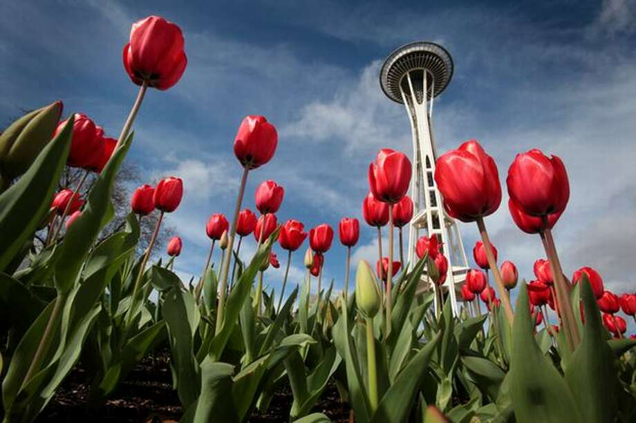 Tulips seem to sprout from around Seattle's iconic Space Needle on Tuesday March 30, 2010. Residents of the Pacific Northwest know spring is here when the daffodils and tulips begin showing their brilliant palettes of color. Photo: Joshua Trujillo, Seattlepi.com / seattlepi.com