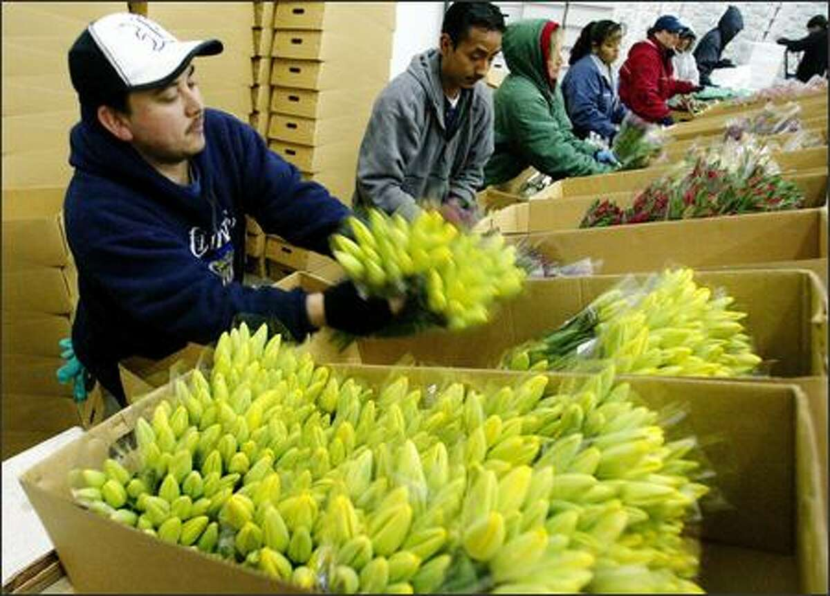 Fernando Ramirez, left, works in a massive cooler where he and others pack tulips that will be shipped to retail outlets around the country.
