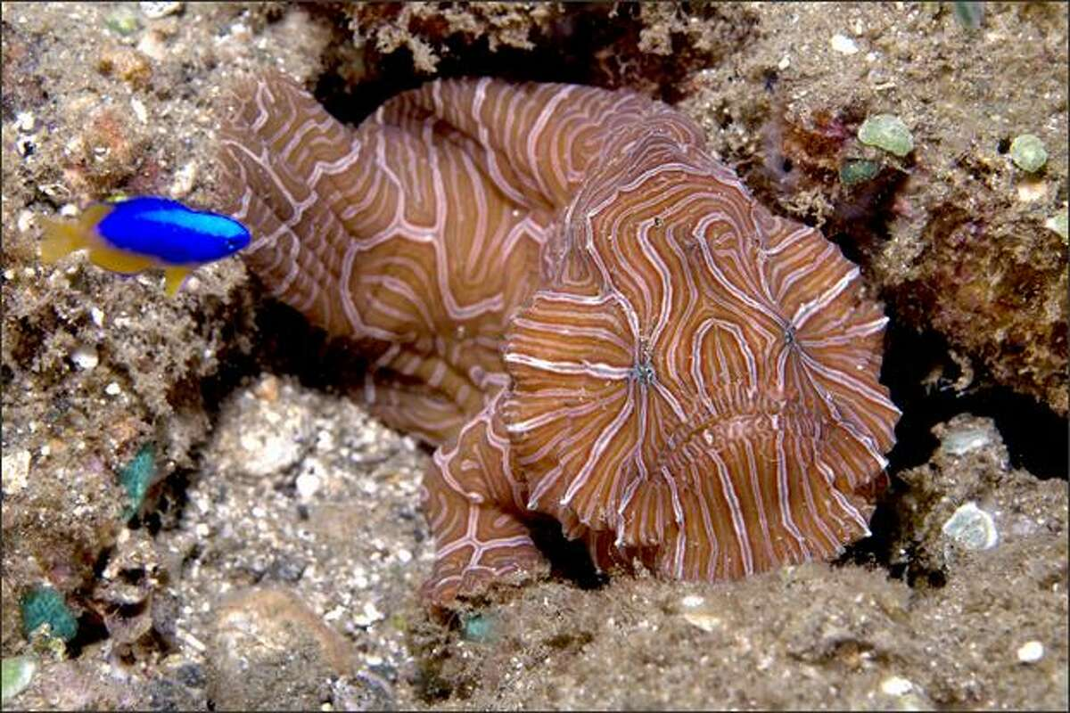 A newly discovered pink-and-tan psychedelically striped frogfish with a flat face, frowning mouth and arm-like fins could be part of a formerly unknown family of vertebrates. The fish is about 4 inches long. (M. Snyder/starknakedfish.com)
