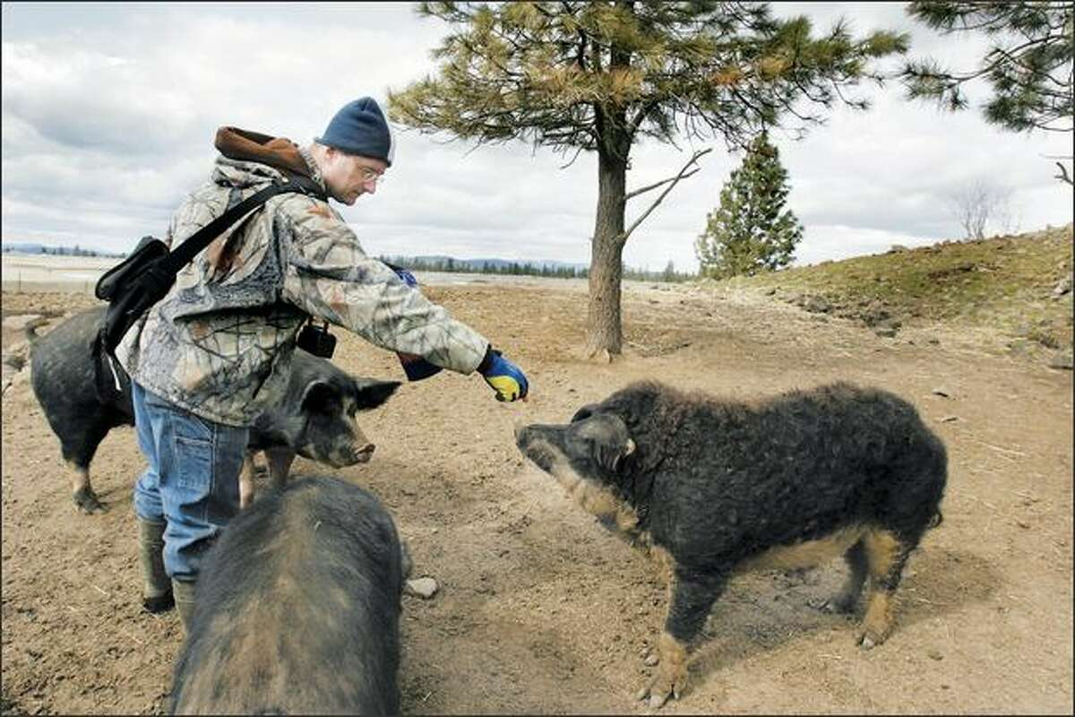 Heath Putnam feeds a snack to a Mangalitsa boar near Spokane. Putnam is the sole U.S. importer of the pricey pigs, prized for their high fat content and earthy flavor.