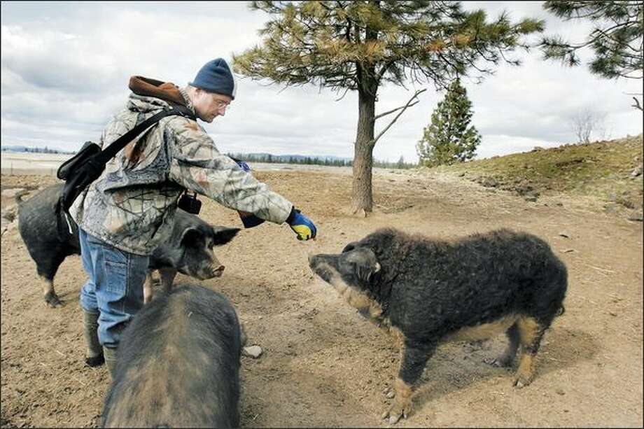 Heath Putnam feeds a snack to a Mangalitsa boar near Spokane. Putnam is the sole U.S. importer of the pricey pigs, prized for their high fat content and earthy flavor. Photo: Meryl Schenker, Seattle Post-Intelligencer / Seattle Post-Intelligencer