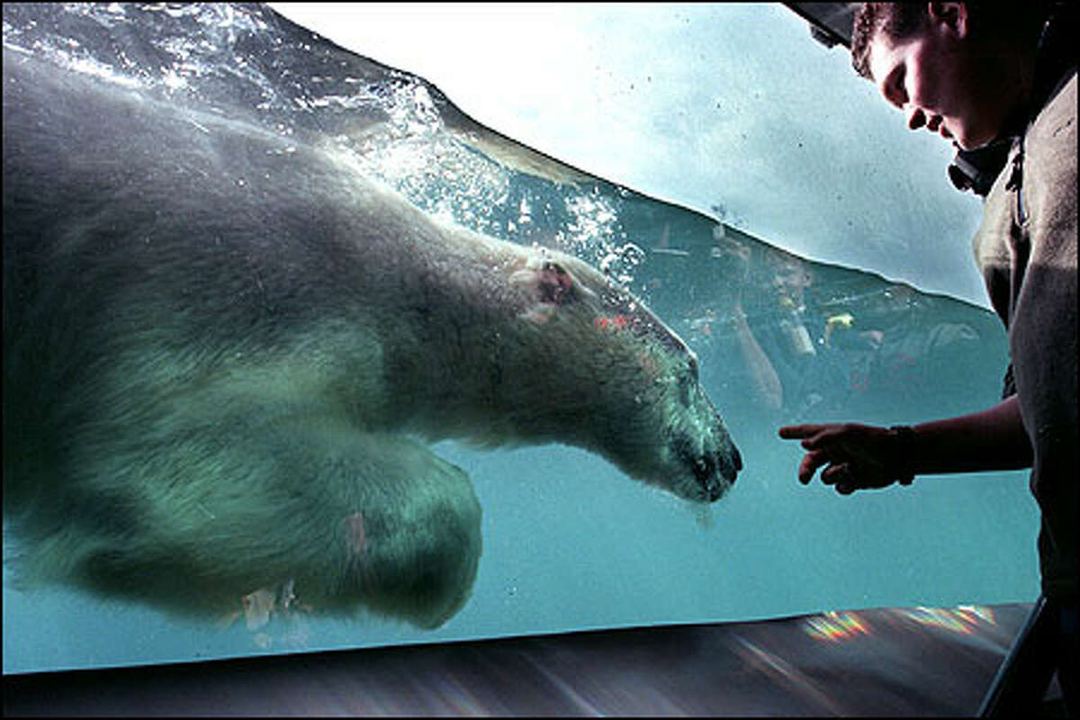 One of four polar bears at Point Defiance Zoo and Aquarium, the only such bears in Washington, swims past the viewing window after eating a snack.