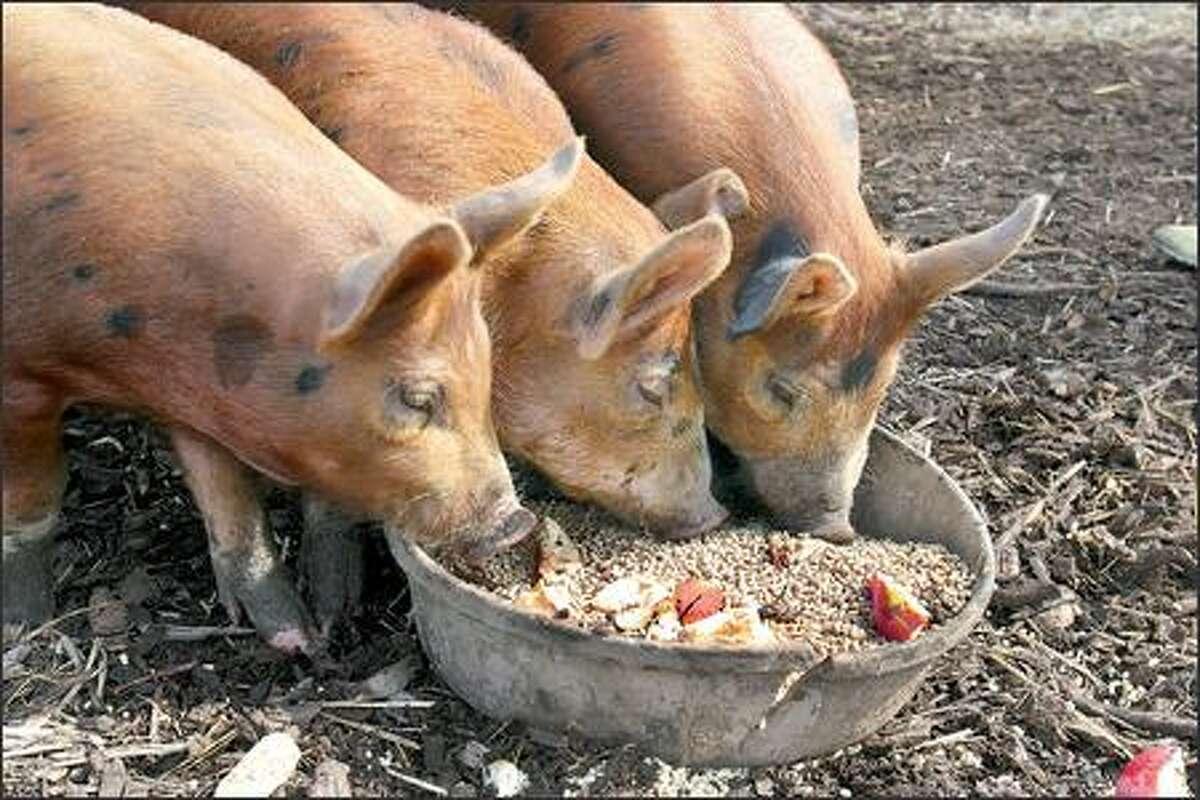 A litter of piglets destined for Tamara Murphy's kitchen.
