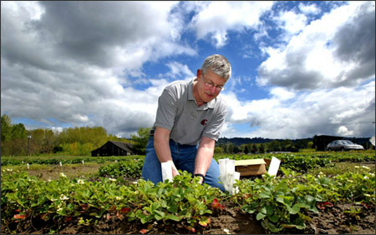 Pat Moore works in a strawberry research field in Sumner. Moore has released two improved varieties of strawberry plants in his career at Washington State.