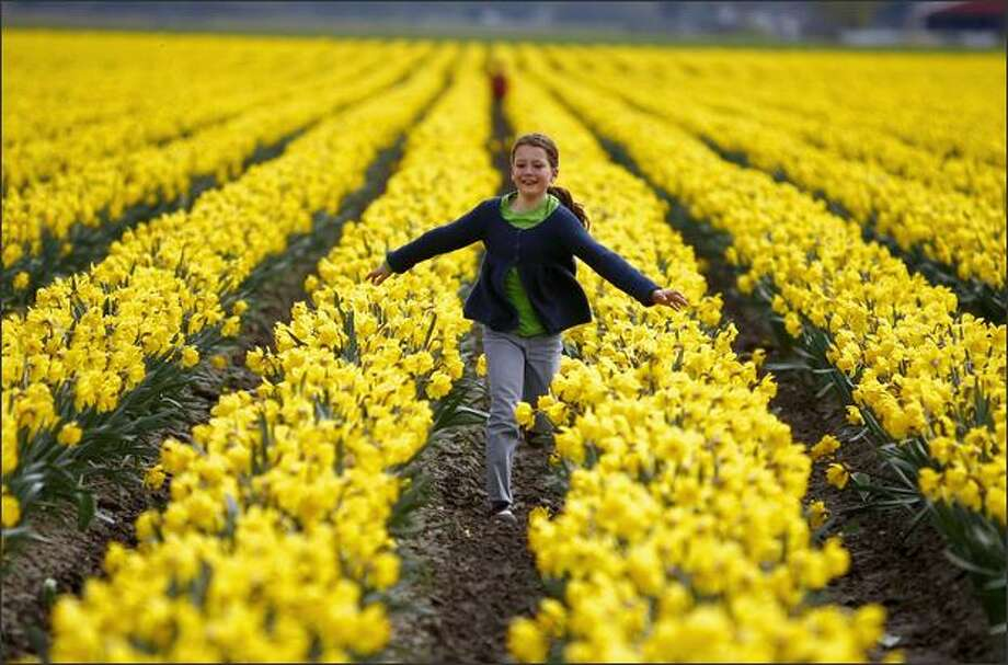 Daffodils are stealing the early thunder from tulips, expected in about a week, at the Skagit County Tulip Festival. (P-I file photo) Photo: Joshua Trujillo, Seattlepi.com / seattlepi.com
