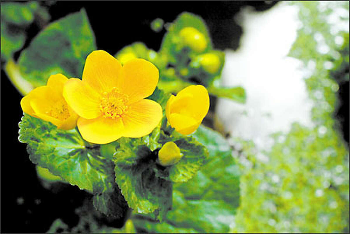 A marsh marigold (Caltha palustris) blooms on the edge of the Streissguths' spring-fed brook.
