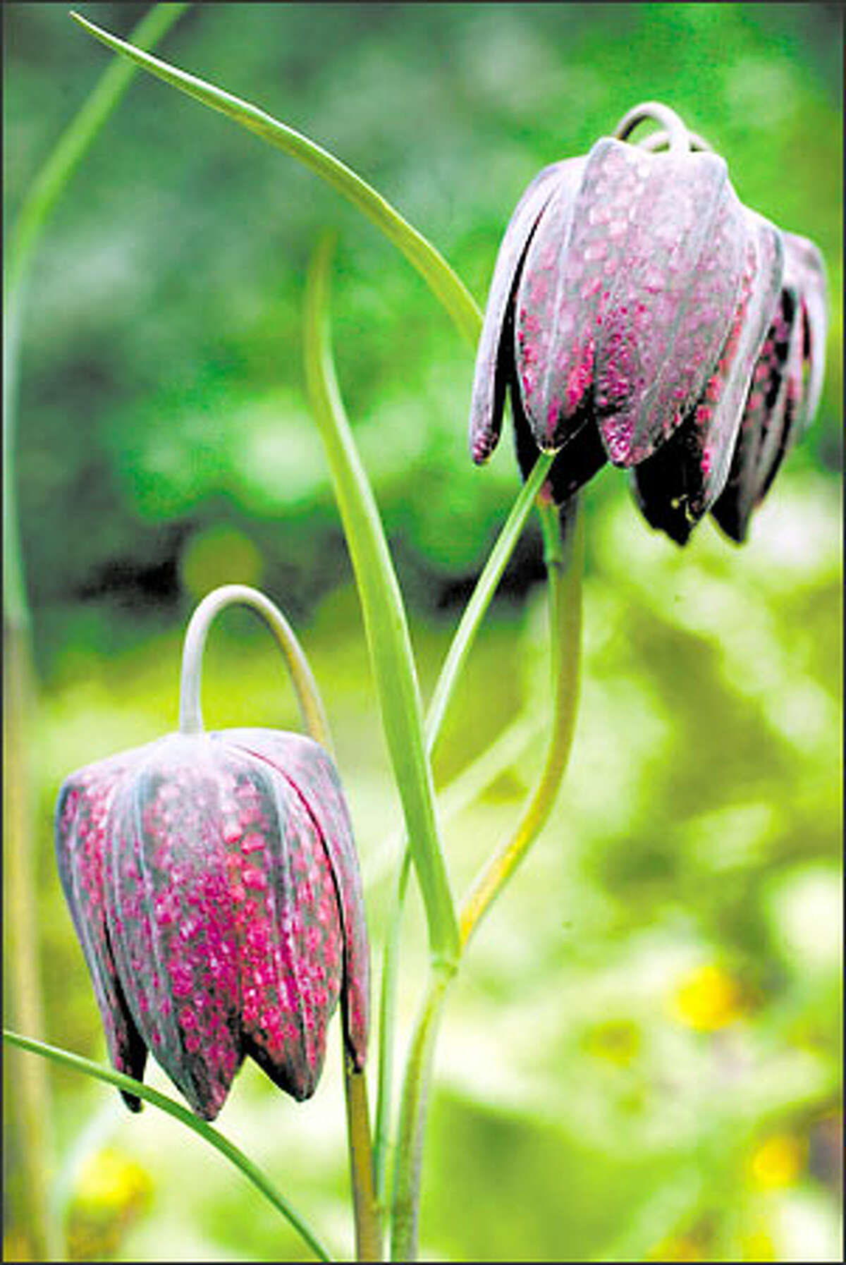 A pair of checkered lilies (Fritillaria meleagris) adorn the Streissguths' garden.