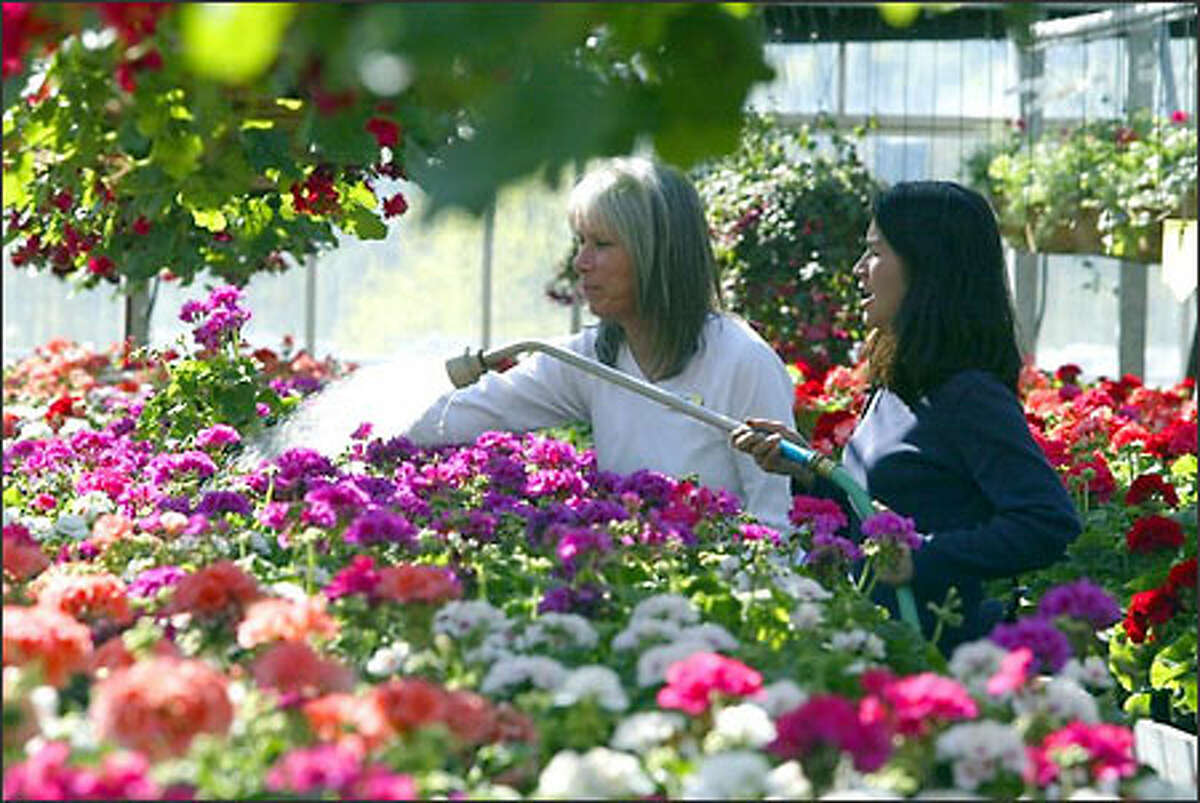 Kate Domoszlay, left, and Suzie McFadden at Molbak's in Woodinville, water geraniums in a greenhouse at the production farm, which will be open to the public today for the first time this spring. More than 65 varieties of geraniums will be on display.