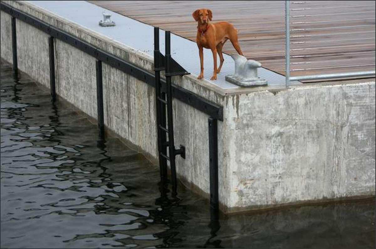 Koa, a viszla, checks out the view from Lake Union Park's newly constructed dock.