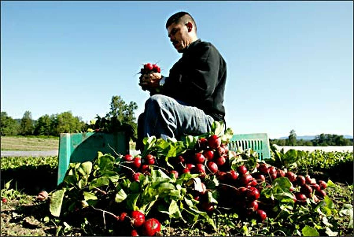 Esquiel Marungo harvests radishes at Full Circle Farm in Carnation. The farm's organic produce finds its way to farmers markets, grocery stores, restaurants and CSA members.