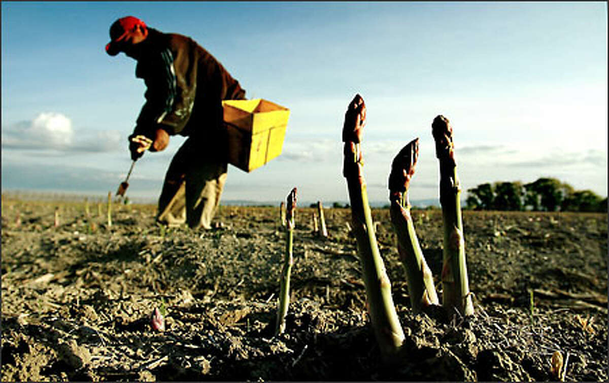 Working early in the morning to avoid the heat of day, laborers such as Jose Luis Rodriguez Sanchez hand cut each spear of asparagus. On a warm day, a spear can grow up to 6 inches.
