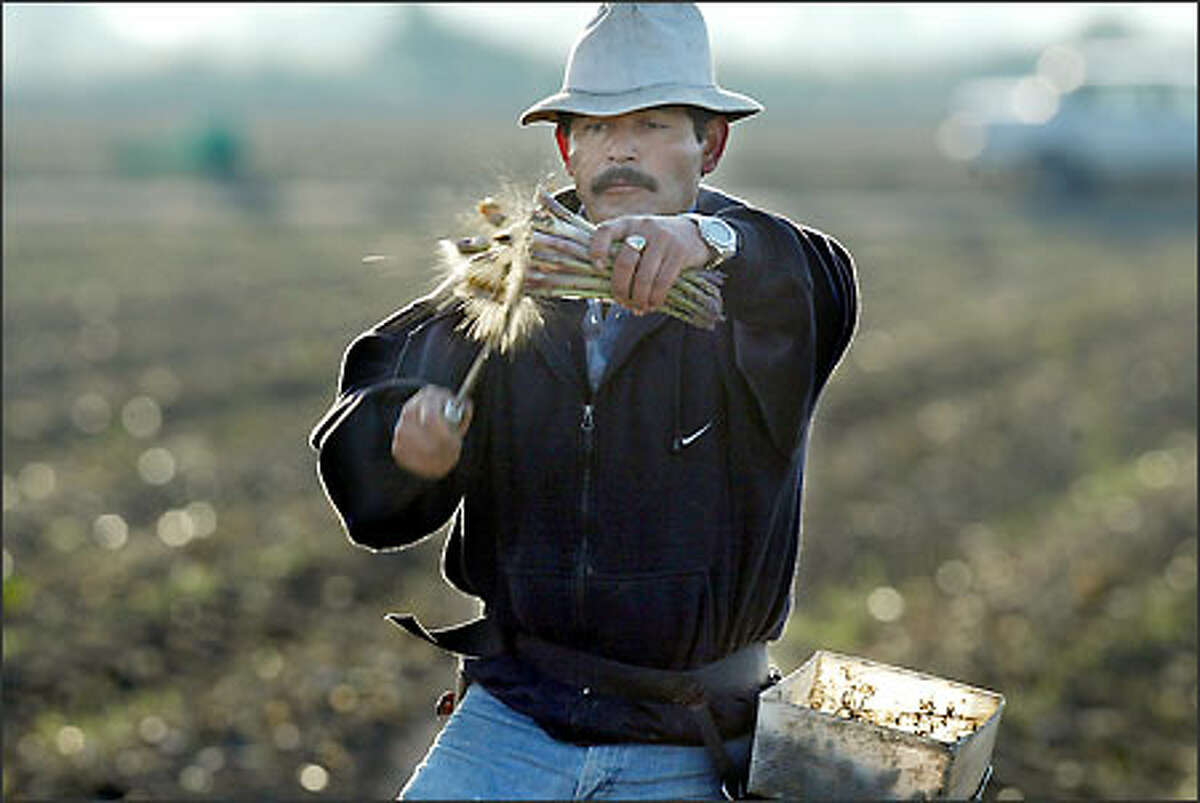 Asparagus cutter Juan G. Godines trims a fistful of spears before they go into his bucket.