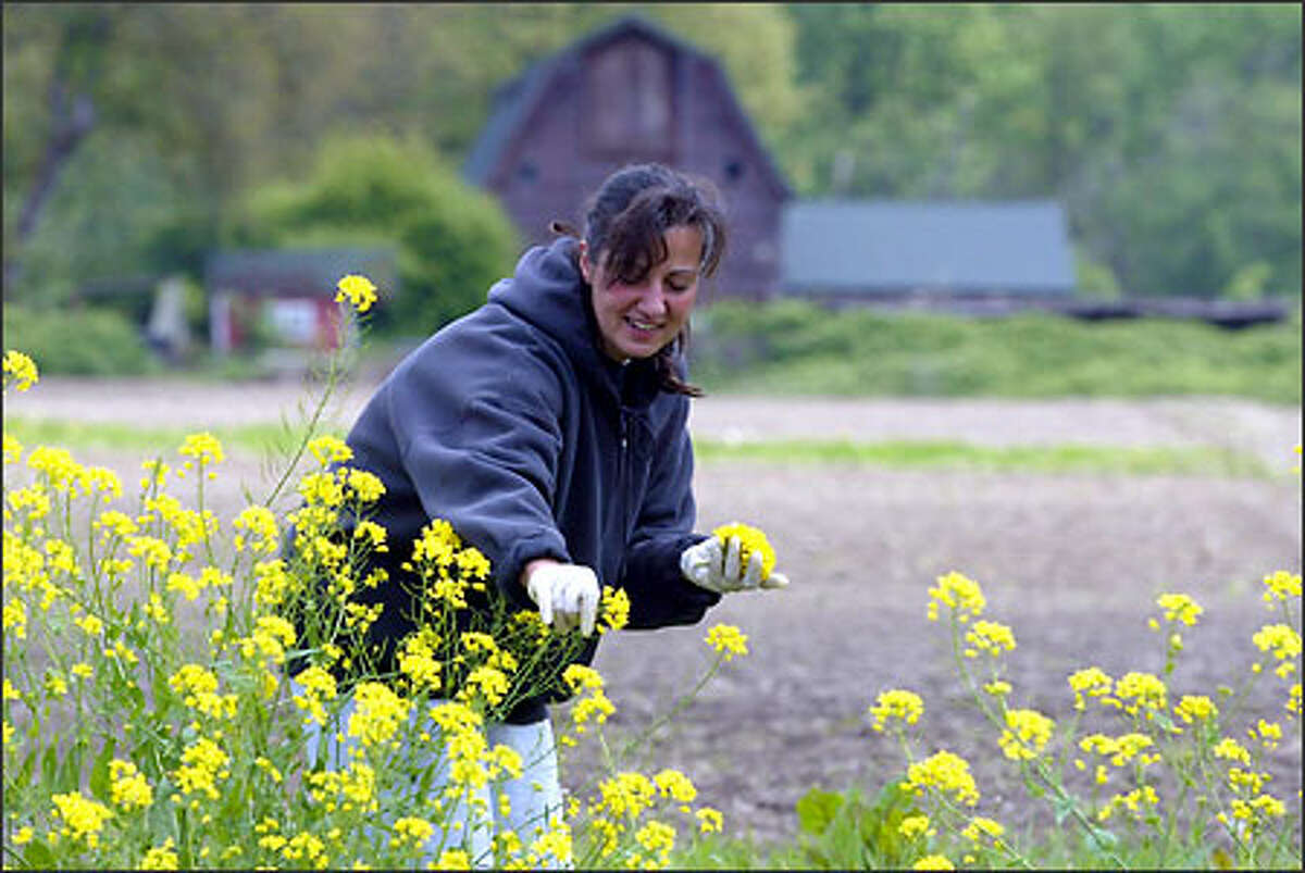 Marie Oliver of Lake Stevens picks mustard at Anselmo's Organic Gardens in Machias. It will be used in a salad blend that Anselmo's will sell at the Ballard Sunday Farmers Market, which opens at 10 a.m. Sunday at its new, permanent, year-round location in the 5000 block of Ballard Avenue Northwest in Seattle.