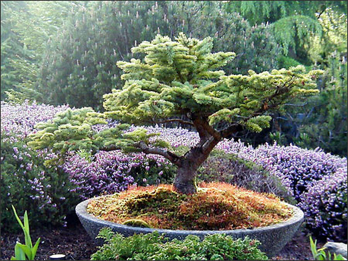 The Everett Gardens of Merit tour includes seven gardens. Here a bonsai tree grows in a concrete dish, set off by purple heather.(Antonia Valentini photo)