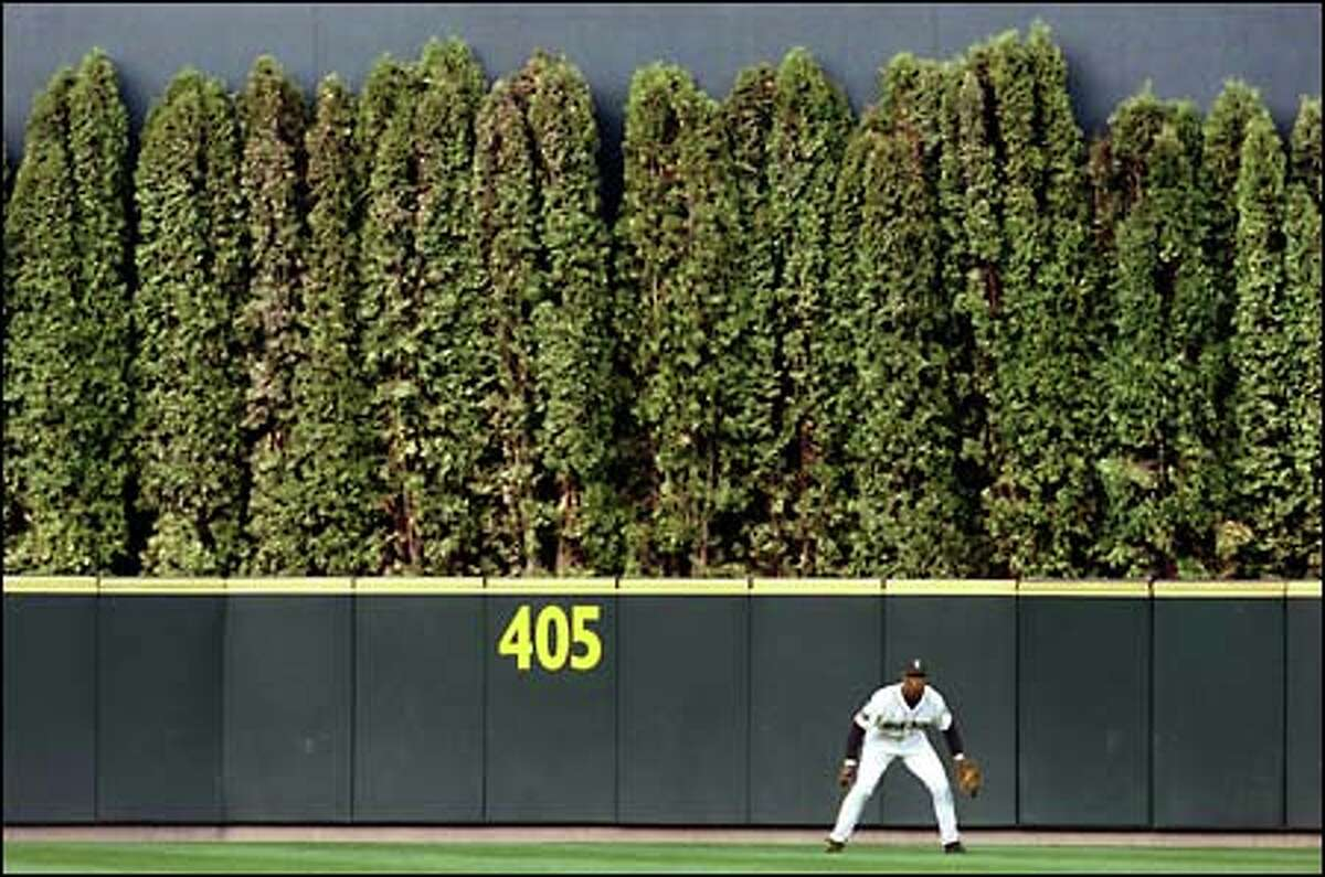 The large shrubs behind Mariners center fielder Mike Cameron were planted as a hedge at Safeco Field to reduce glare for batters.